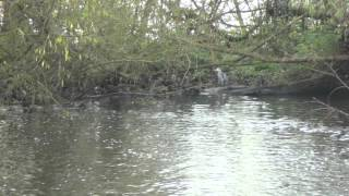 Song of the Alder Tree Grove (clip) © Vernon Stanbridge 2014