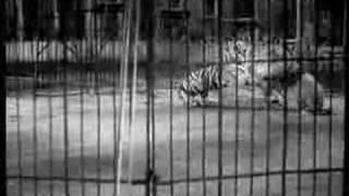 Tiger vs Lion Big Cage Fight - Tiger owns lion