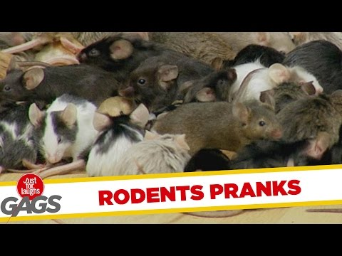 Best Rodent Pranks - Best of Just for Laughs Gags