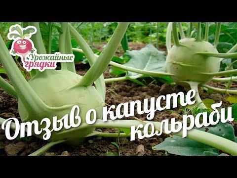 Отзыв о выращивании капусты кольраби #urozhainye_gryadki