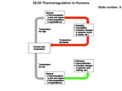 Thermoregulation in humans movie