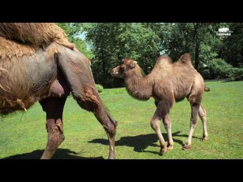 Ricardo, das kleine Trampeltier  - Ricardo, the little Bactrian camel