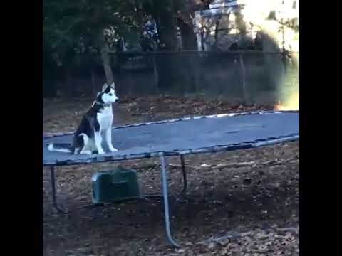 Dog Caught Red Handed On Trampoline