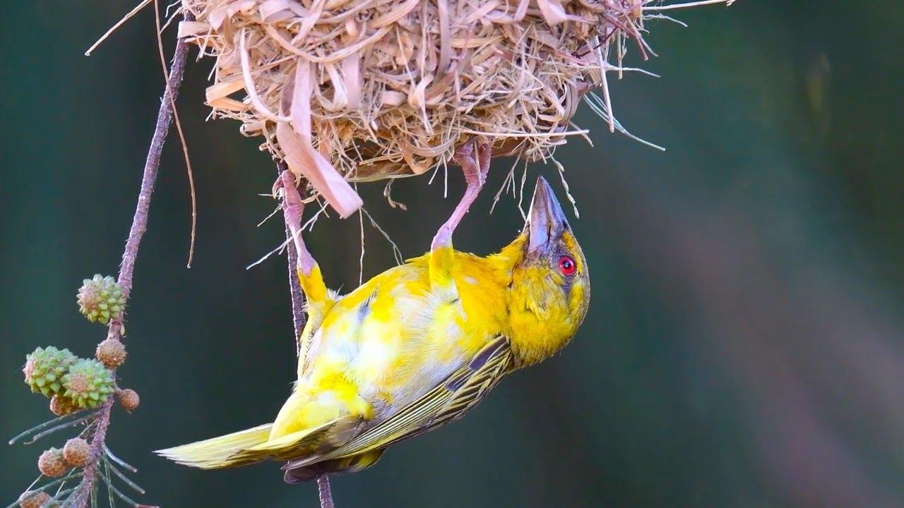Bird Building Nest Youtube