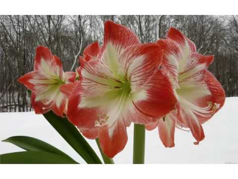 Amaryllis Flowers Beautiful Pictures Romance