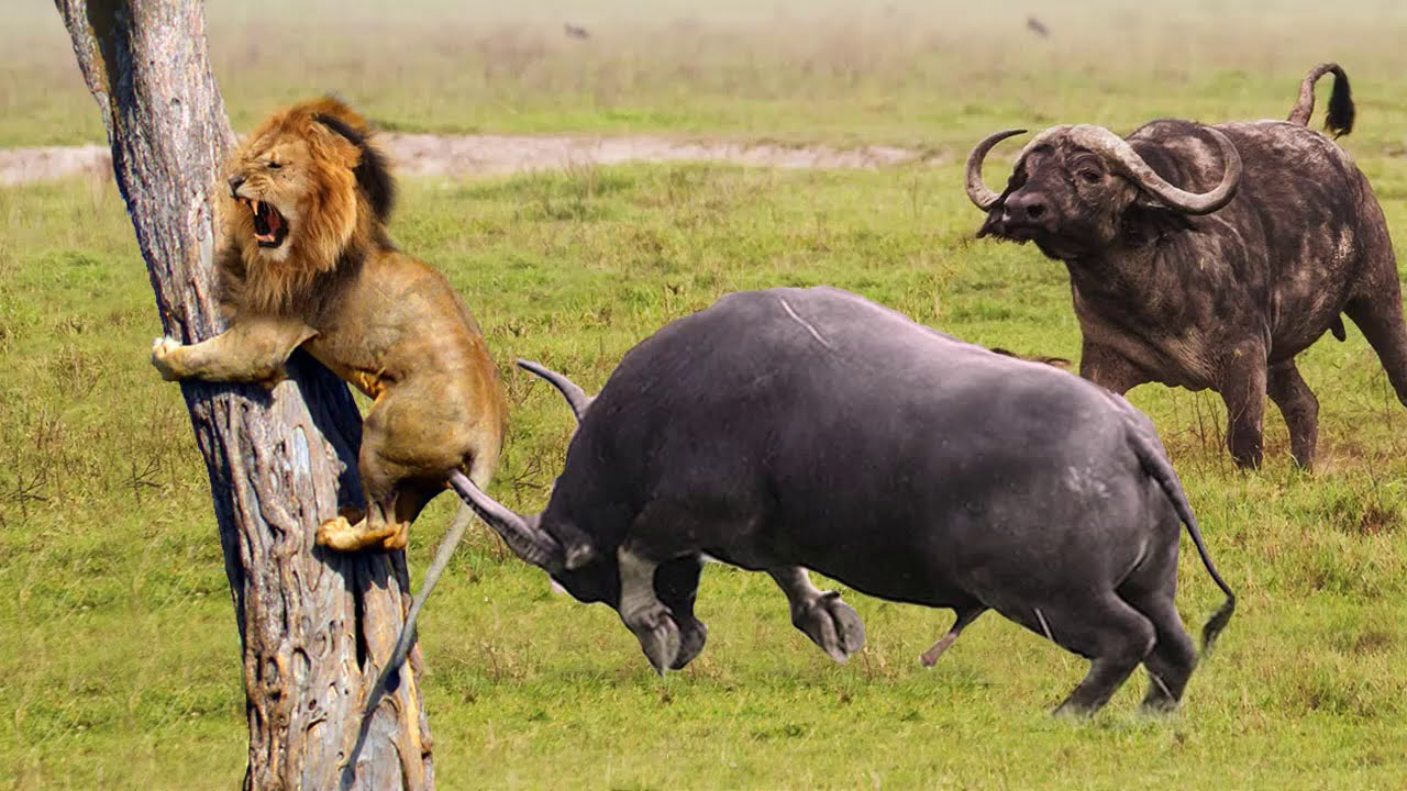 buffalo too late to rescue his friend from lion - king of lion run away from buffalo - lion, buffalo