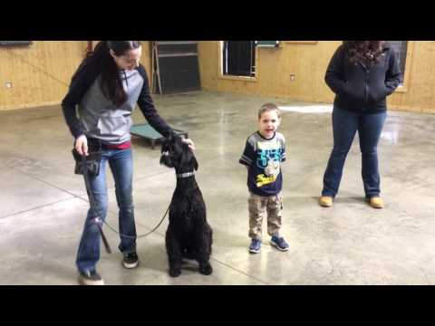 """Giant Schnauzer Male """"Yeager"""" 11 Months Obedience Trained Dog For Sale"""