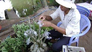 Kỹ thuật ghép sứ Thái & kỹ thuật trồng sứ (Nguồn video: anh Văn Công Mai)