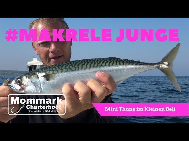 Sommer Makrelen im Kleinen Belt   Mommark Charterboot