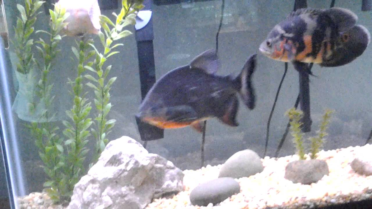 My red belly pacu in my 55 gallon aquarium