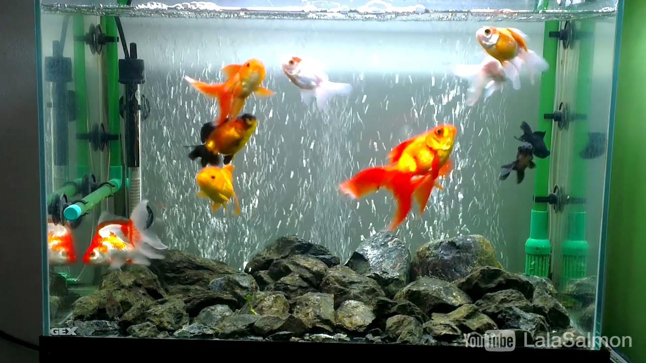 Akuarium Ajaib Isi Ikan Maskoki Youtube