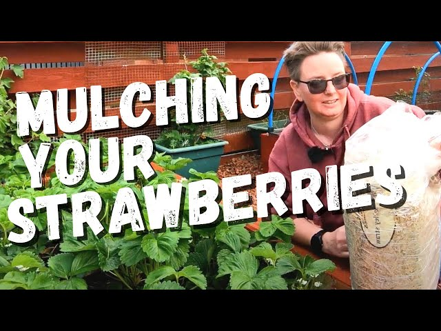 Mulching Strawberries