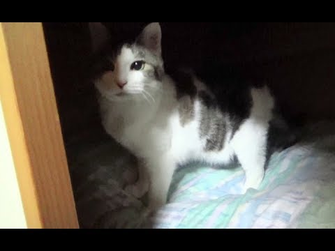 【のらがとうとう押し入れデビュー】The cat relaxed for the first time in the storage space