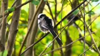 Long-tailed Tit (Aegithalos caudatus) / Schwanzmeise [1]