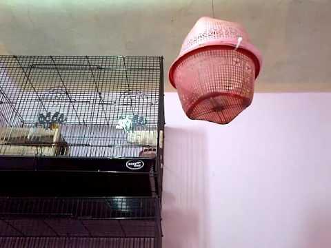 lovebird kecekkk kecekkk