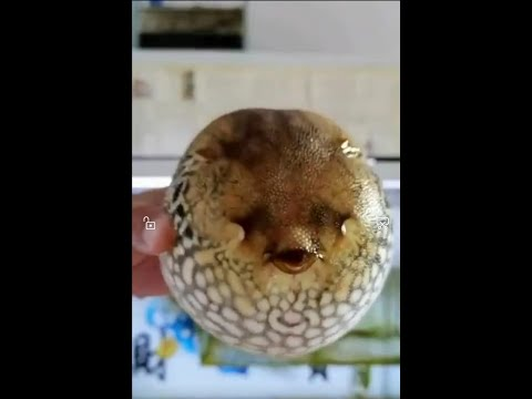 How Puffer Fish Protect Themself