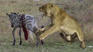HUNTER BECOMES THE HUNTED - Mother Zebra Save Her Newborn From Lion , Giraffe vs Lion #2