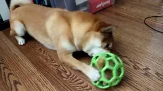 Good dog toys for Shiba Inu (JW Pet Hol-ee Roller)
