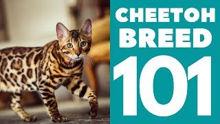 The Cheetoh Cat 101 : Breed & Personality