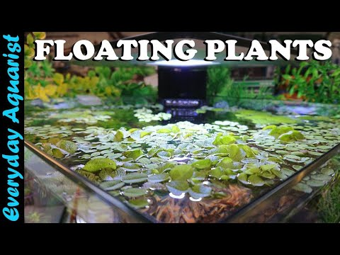 FLOATING PLANTS: 6 Reasons You SHOULD ADD Them To Your Aquarium