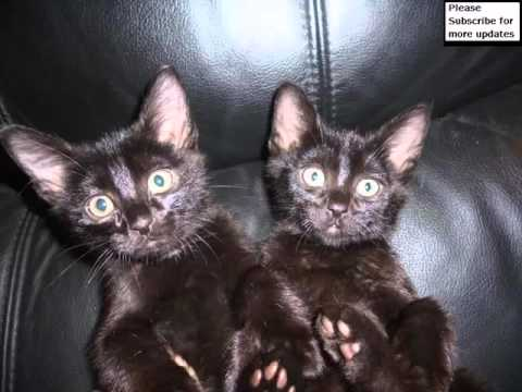Black Burmese Kittens | Set Of Cat Picture Collection