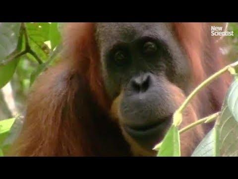 New species of orangutan