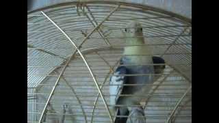 Попугай - корелла Риччи видео поет говорит привет, Ричи птичка и поет песенку тра-ля-ля