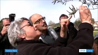La Xylella fastidiosa détectée sur des oliviers en Corse