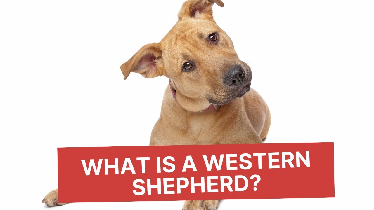 Western Shepherds for Family Protection | Cappel Canine