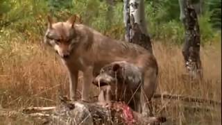 Full Documentary: Wolves in Forest [One of the Best Documentaries]