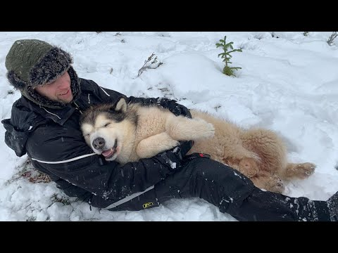 MALAMUTE DOGS GO CRAZY FOR SNOW