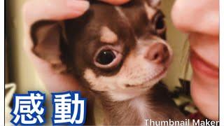 3日ぶりの再会に喜ぶチワワです。 なんだか泣ける。。 Chihuahua dog 【...