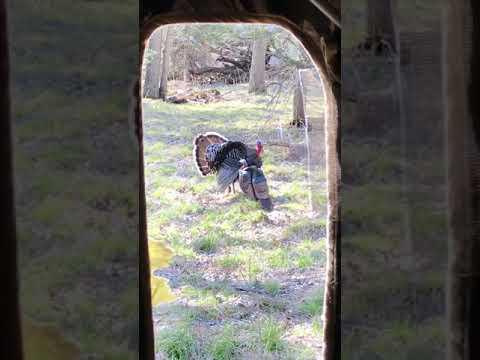 Nebraska-turkey-bow-shot-hunts-from-the-heart