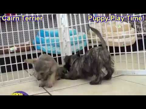Cairn Terrier, Puppies, Dogs, For Sale, In Memphis