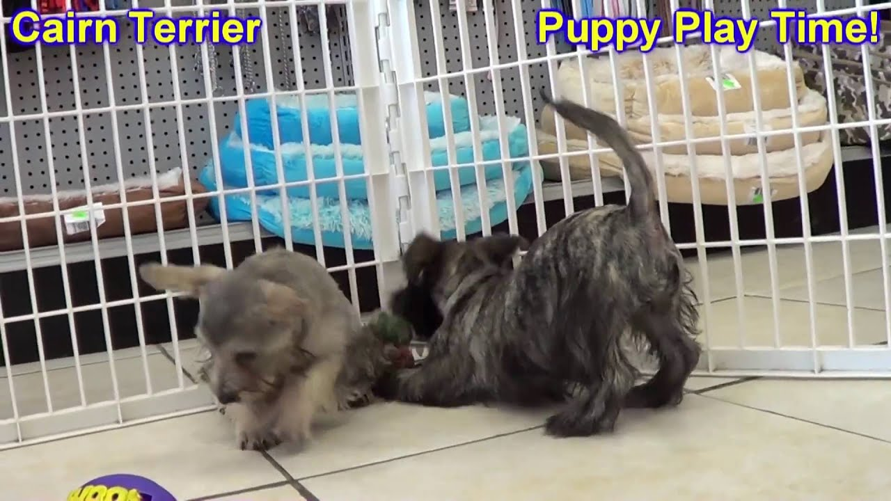 Cairn Terrier, Puppies, Dogs, For Sale, In Memphis ...