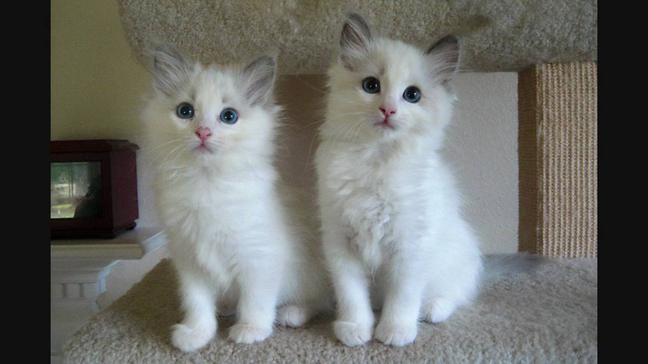 Blue Bicolor Ragdoll Kittens - 9 Weeks Old