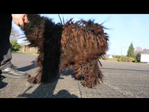 Puli Dog jump and ball 2016-03-14