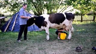 VII Konkurs Ręcznego Dojenia Krów - WIELKIE DOJENIE