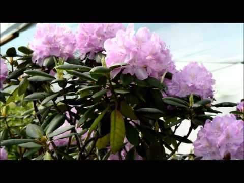 Декоративные кустарники и цветы