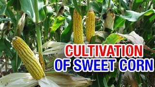 Cultivation of Sweet Corn in Ranga Reddy District | Success Story | Paadi Pantalu