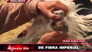 De fibra imperial: la alpaca suri conquista el mundo desde Puno