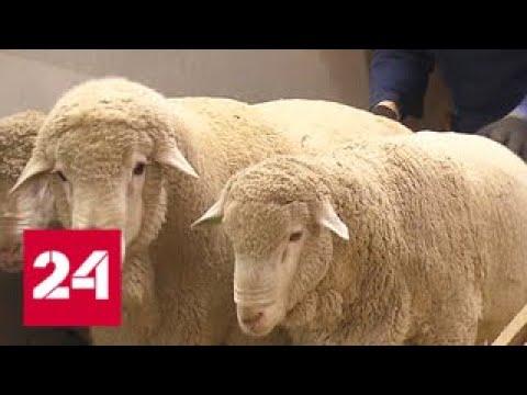 Смотреть Неделя высокой сельхозмоды: на ВДНХ привезли животных-рекордсменов - Россия 24 онлайн