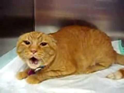 Lawak Kucing yang Marah