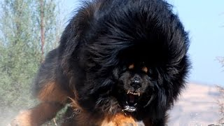Repeat youtube video Top 10 Most Dangerous Dogs In The World 2016