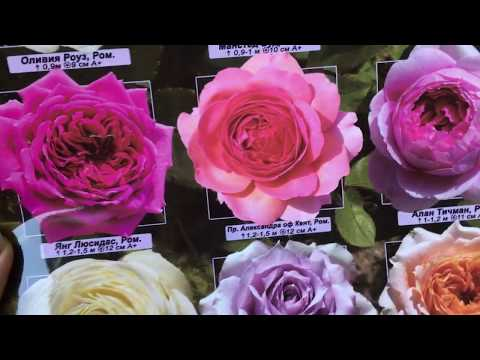 Посылка с саженцами роз от Сергея Овчарова! Мои новинки🌹В подарок роза Толбиак! Моя мечта!