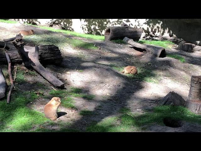 Prairie Dog Dreaming