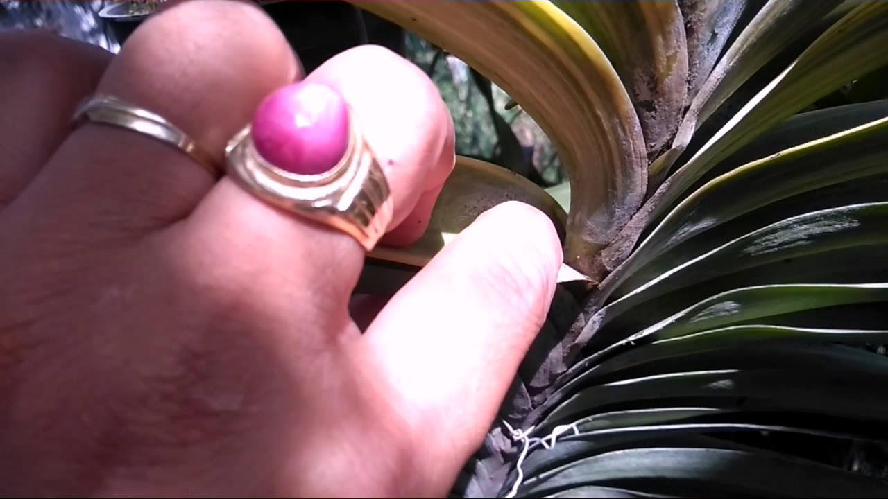 Cách kích keiki (mầm con) phong lan đơn thân ( quế-nhạn-vanda…)