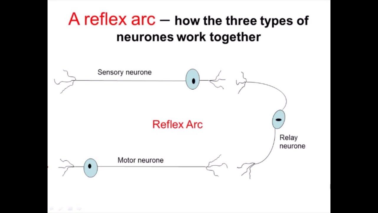 Nervous system part 2 reflex arc a level biology youtube nervous system part 2 reflex arc a level biology ccuart Gallery