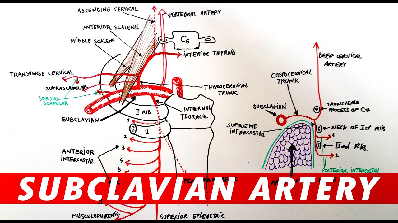 Anatomy - Subclavian artery branches - YouTube