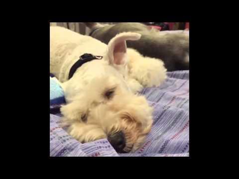 Funny Sleepy Dog